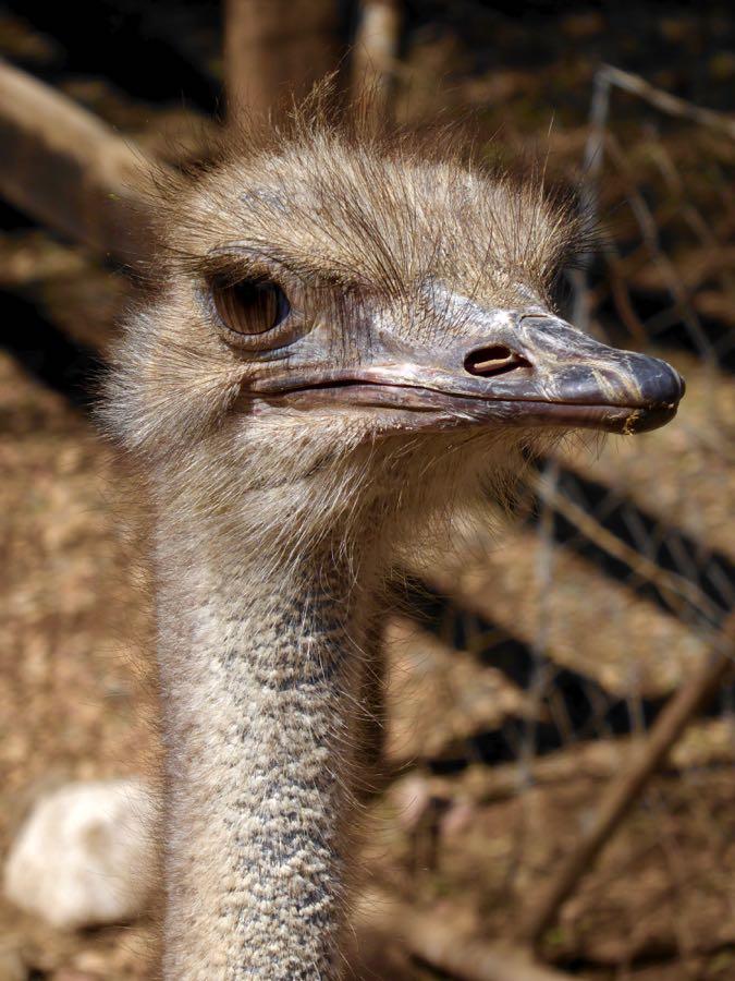 Struisvogel bij struisvogelfarm