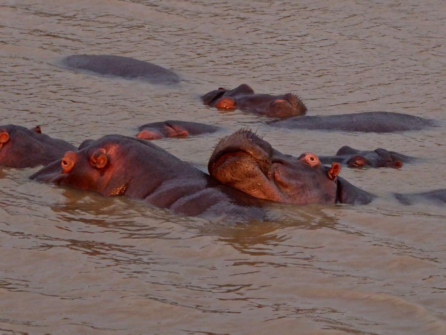 Nijlpaarden in St. Lucia