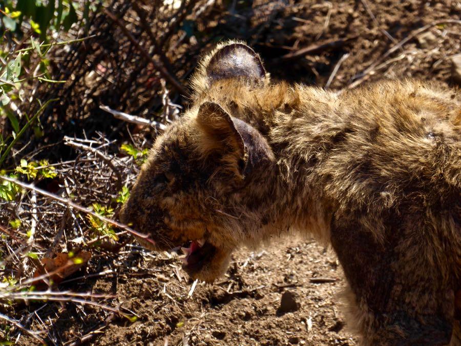 Jonge leeuw in Kruger Park