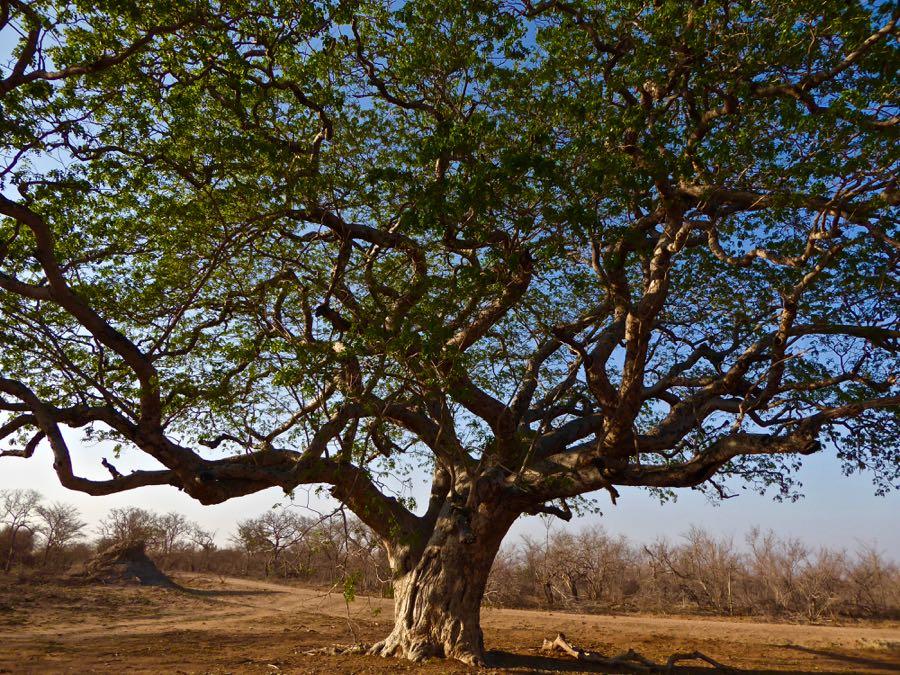 Mooie boom in Krugerpark